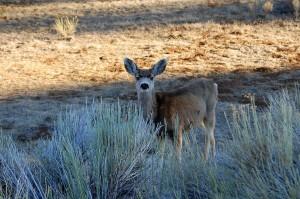 Bryce Canyon - Bambi